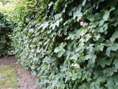 Acer campestre/Feldahorn, Wurzelware, 80 cm bis 125 cm