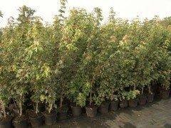 Acer campestre/Feldahorn im Container, von 60 cm bis 175 cm