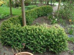 Buchsbaum (Buxus sempervirens)  im Container, 30-40cm