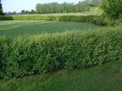 Buchsbaum (Buxus sempervirens) im Container, 15-20cm