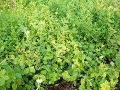 Spindelstrauch Kriechsp. Pfaffenhütchen Euonymus f. 'radicans'