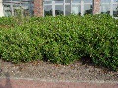 Kirschlorbeer Otto Luyken (Prunus lauroc.)  im Container, 30-40cm