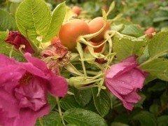 Rosa rugosa/Heckenrose im Container (diverse Größen)