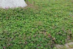 Balkan-Storchschnabel (Geranium 'macrorrhizum') im P9 Topf