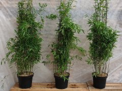 Bambus Fargesia nitida Black Pearl im Container