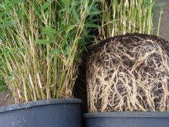 Bambus Fargesia murielae Jumbo im 3L Container, 40-60 cm groß