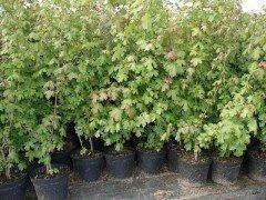 Feldahorn, Ahorn (Acer campestre) im Container, 150-175cm