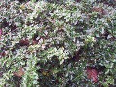 Berberitze (berberis frikartii 'Verrucandi') 40-50 cm, im 3L Container