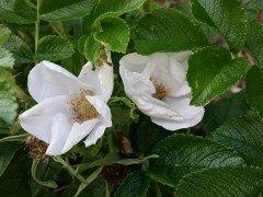 Weiße Heckenrose (Rosa rugosa alba) im C3 Container, 40-60 cm groß
