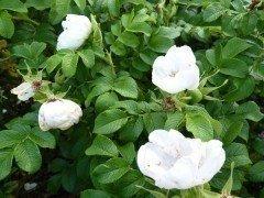 Weiße Heckenrose (Rosa rugosa 'alba') im C3 Container, 40-60 cm groß