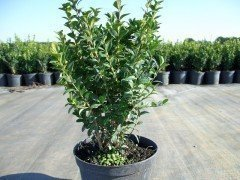 Buchsbaum (Buxus sempervirens) im Container, 25-30cm