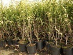 Liguster (Ligustrum vulgare Atrovirens) im Container, 50-80 cm