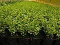 Gelbbunter Spindelstrauch, Pfaffenhütchen (10-20cm)