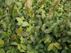 Spindelstrauch Purpur-Kriechspindel Euonymus f. 'coloratus'