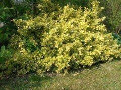 Gelbbunter Spindelstrauch, Pfaffenhütchen (15-30cm)