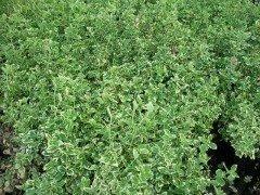 Weissbunte Kriechspindel (lat. Euonymus fortunei Emerald Gaiety),  15-30cm