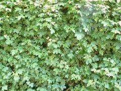 Feldahorn, Ahorn (Acer campestre)  im Container, 125-150cm