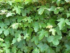 Feldahorn, Ahorn (Acer campestre) im Container, 100-125cm