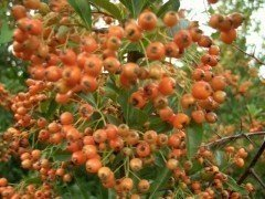 Feuerdorn (orange, Pyracantha crenoserata Orange Glow), 60-80cm