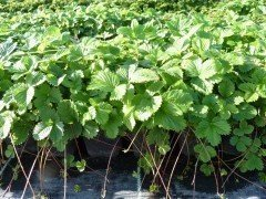 Wald-Erdbeere (Fragaria vesca, Monatserdbeere)