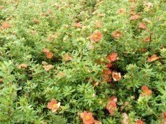 Fünffingerstrauch rot-orange, Potentilla fruticosa 'Red Ace', 20-30cm