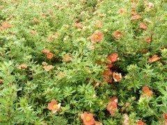 Fünffingerstrauch rot-orange, Potentilla fruticosa 'Red Ace', 20-30cm