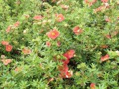 Fünffingerstrauch rot-orange, Potentilla fruticosa Red Ace 15-20cm, im 0,5L Topf