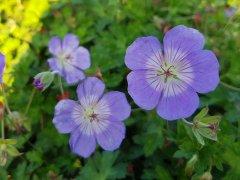 Storschnabel Rozanne (Geranium wallichianum Rozanne ®)