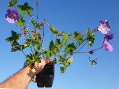 Storschnabel Rozanne (Geranium wallichianum 'Rozanne' ®)