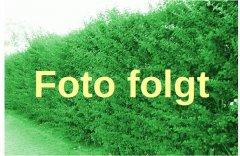 Grüne Hecken-Berberitze 'Berberis thunbergii', 60-100 cm groß im 3L Topf