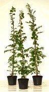 Hainbuche, Weißbuche (Carpinus betulus) im Container, 150-175cm
