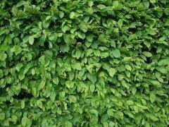 Carpinus betulus/Hainbuche, wurzelnackte Heister