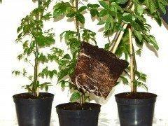 Hainbuche, Weißbuche (Carpinus betulus) im Container, 50-80cm