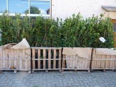 Hainbuche (Carpinus betulus) im Container, 175-200 cm