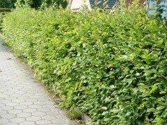 Hainbuche, Weißbuche (Carpinus betulus)  im Container, 80-100cm