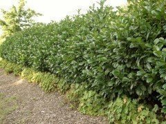 Kirschlorbeer Etna (Prunus lauroc. Etna)  im Container, 40-60cm
