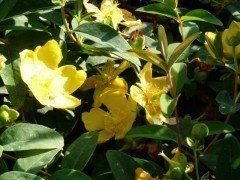 Hypericum 'Hidcote Gold', Grossblumiges Johanniskraut, 20-30cm groß