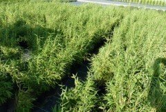 Bambus Fargesia murielae Superjumbo im 7,5L Container, 100-125 cm groß