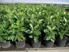 Kirschlorbeer Caucasica (Prunus laurocerasus) im Container, 30-40cm