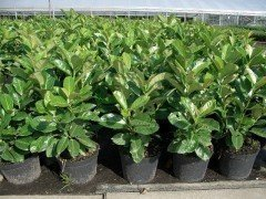 Prunus laurocerasus Caucasica / Hecken-Kirschlorbeer im Container