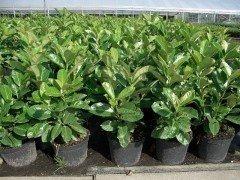 Prunus laurocerasus Caucasica/Kirschlorbeer im Container