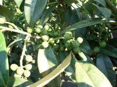 Kirschlorbeer Caucasica (Prunus laurocerasus) im Container, 100-125cm