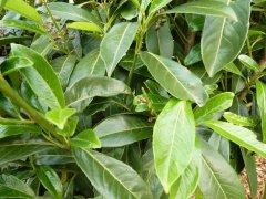 Kirschlorbeer Caucasica (Prunus laurocerasus) im Container, 20-40cm