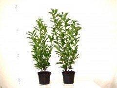 Kirschlorbeer Caucasica (Prunus laurocerasus) im Container, 40-60cm