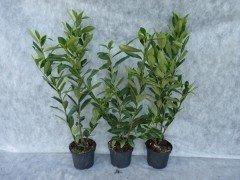 Kirschlorbeer Caucasica (Prunus laurocerasus)  im Container, 80-100cm