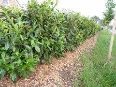 Kirschlorbeer Caucasica (Prunus laurocerasus) im Container, 15-30cm groß