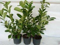 Kirschlorbeer Diana (Prunus laurocerasus Diana), 60-80cm, Container
