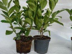 Kirschlorbeer Diana (Prunus laurocerasus 'Diana'), 80-100cm, Container