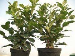 portugiesischer kirschlorbeer angustifolia 7 99. Black Bedroom Furniture Sets. Home Design Ideas