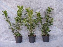 Prunus laurocerasus Novita/Kirschlorbeer Novita im Container